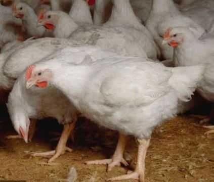 продаємо яйце інкубаційне КОББ-500
