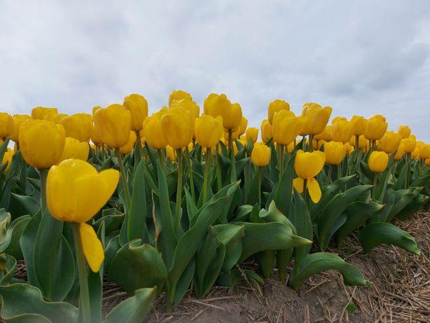 Zolte tulipany 100szy