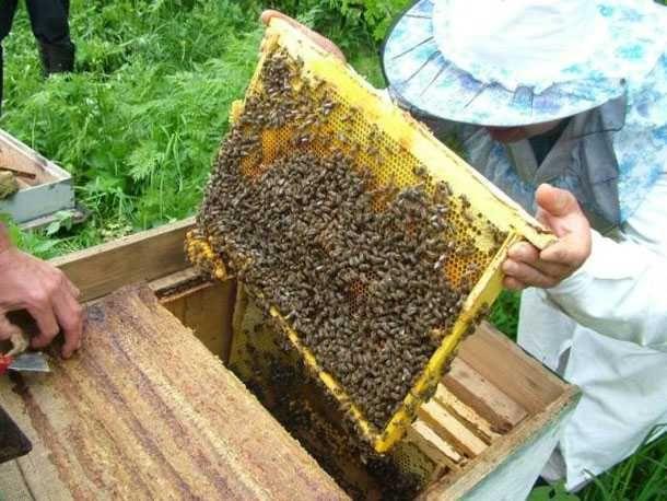 Пчелопакеты оптом розница
