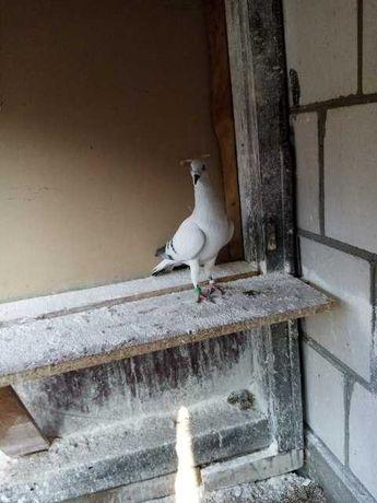 Gołębie ozdobne srebniaki szarolot żałobny wylot