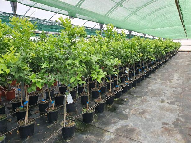 Árvores de fruto médio porte - Citrinos