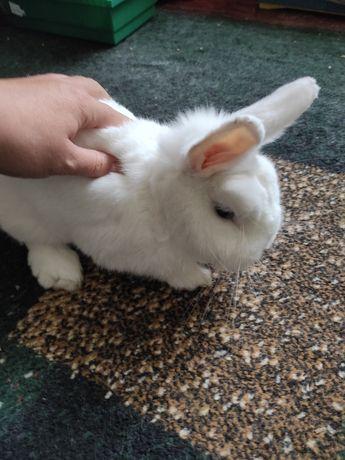 Кролик породи Гермелін з голубими очима