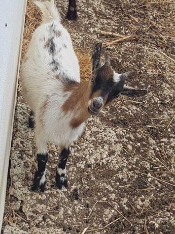 Cabra anã com 7 meses