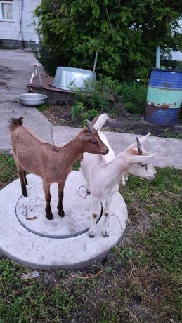 Коза, козочка, козенята