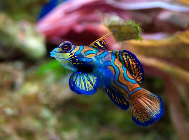 Morskie - Synchiropus splendidus m