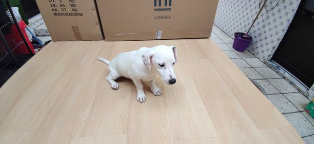 Jack Russel terrier criado em ambiente familiar