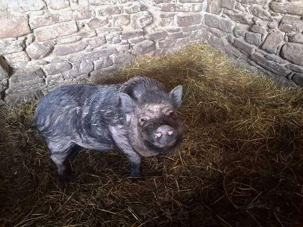 Świnia wietnamska knur