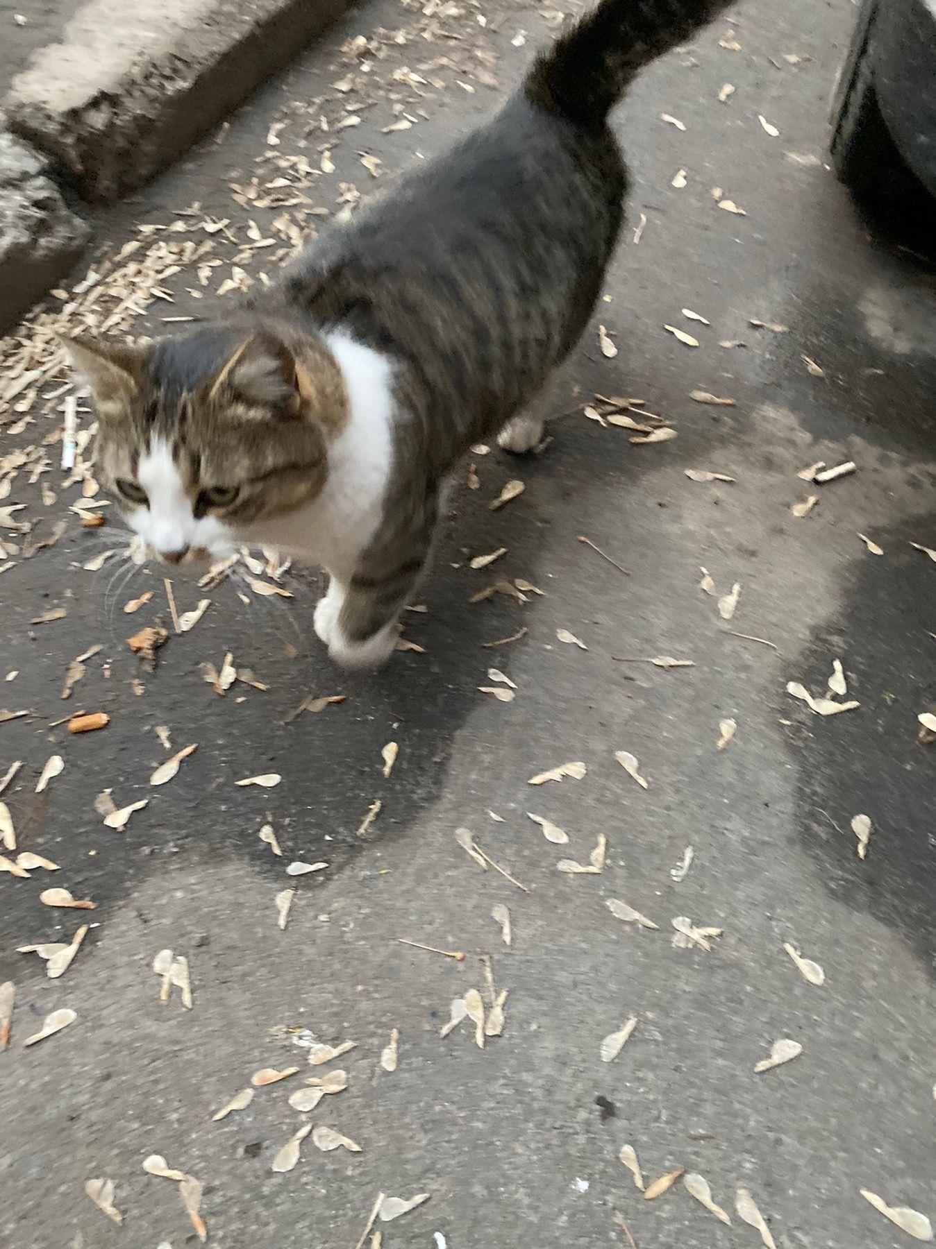 Отдам кошку лесного окраса ,3 года ,стерилизована