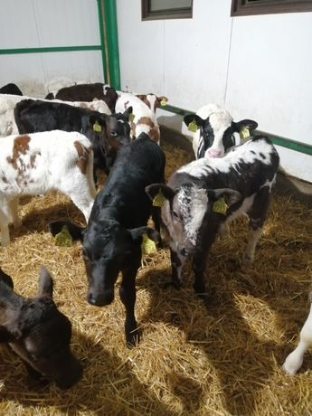 Byczki i jałowki mięsne BRAŃSK i okolice