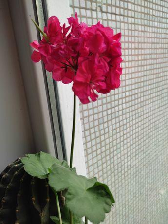 Комнатные цветы, герани и фиалки