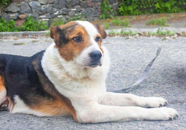 Добрый и спокойный мальчик Арчи собака собачка пес