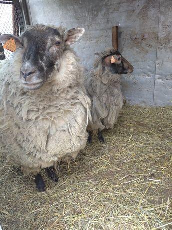 Dwie owieczki, zakolczykowane