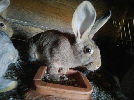 Młode królice, króliki