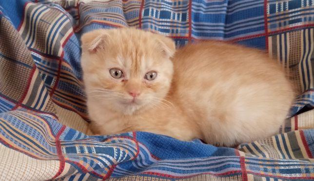 Продам вислоухого кота