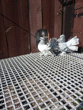 Pawiki indyjskie gołębie ozdobne