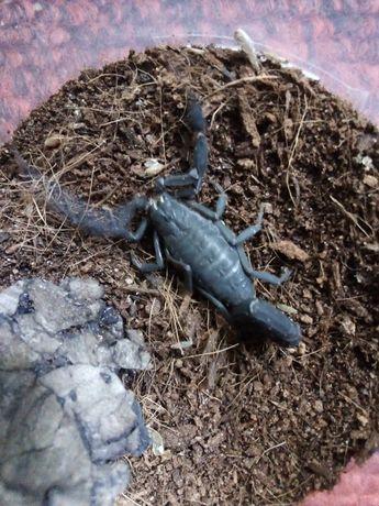 Skorpion TERUELIUS( ex grospus) grandidieri