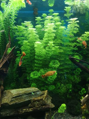 Rośliny do akwarium limnophilia