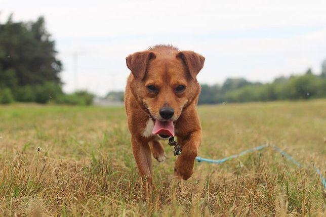 Krokiet - pies do adopcji