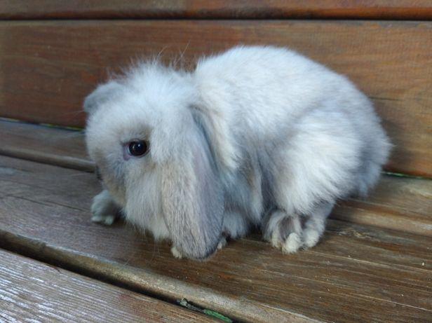 Вислоухие декоративные кролики породы Mini lop(девочки)