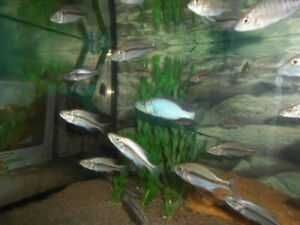 Pyszczak -  dimidochromis compresiceps -2,5-3cm wysyłam