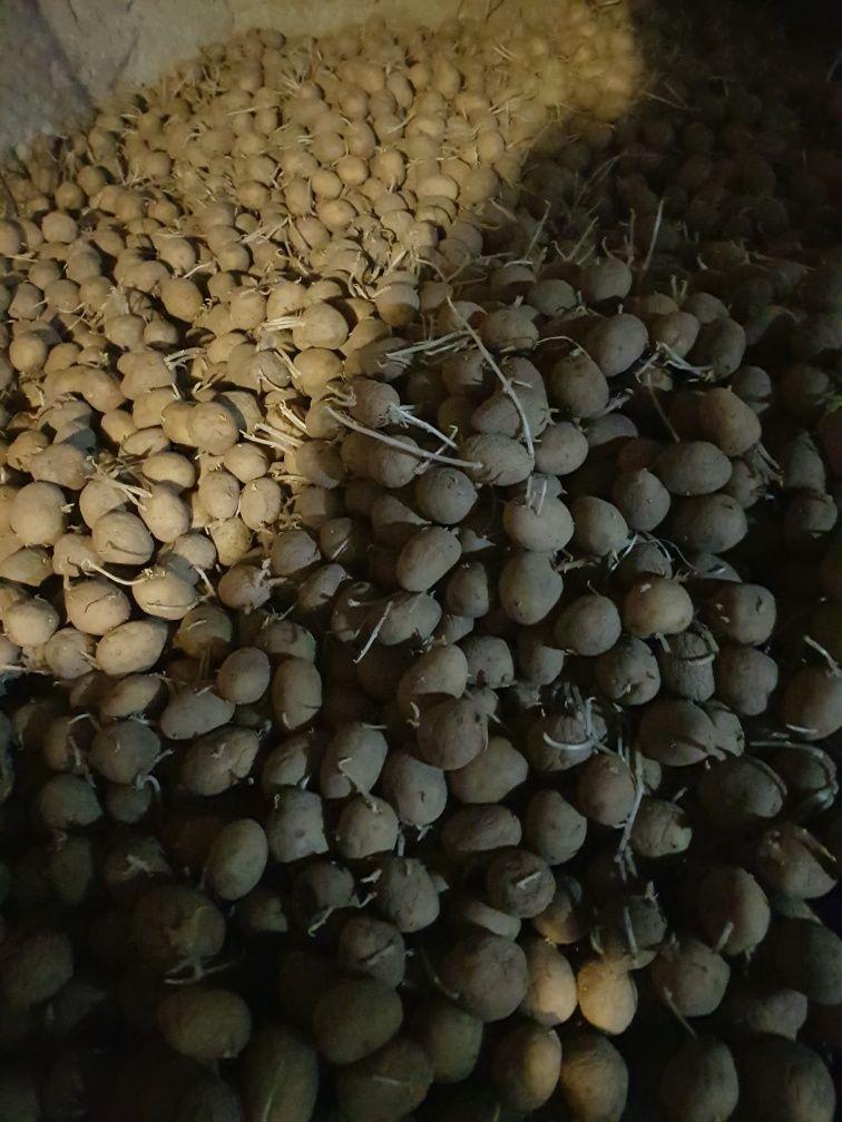 Sadzonki ziemniaka odmiana gala