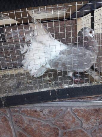 Gołębie Rysie Luskowane, Pawiki