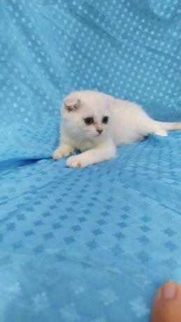 Котята шиншилла 3 месяца
