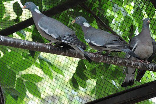 Продам лесного голубя Вяхирь, молодые птенцы лесной голубь