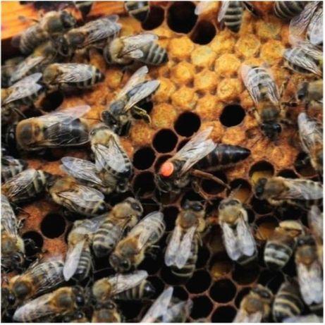Линия 47-3-70. Скленар Продажа с апреля. Carnica. Пчелиные матки.