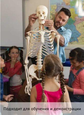Наглядное пособие - скелет учебный анатомический 180 см