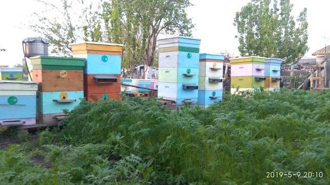 Продам семьи пчел, Матки под заказ бакфаст