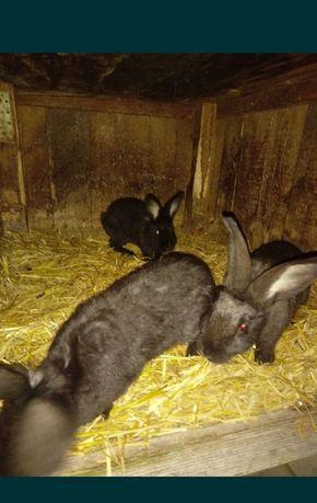 Młode króliki olbrzyma
