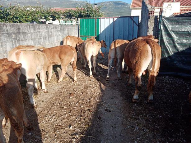 Lote vitelos e vitelas