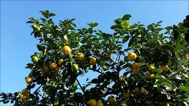 Limão caseiro Kg