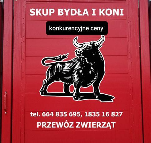 SKUP Bydła i Koni! UBÓJ Krowa Byk Jałówka Bydło Koń DOBRE CENY