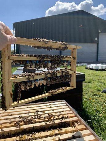 Бджолина Королева Продуктивная. 2021 год Перевірена на засів