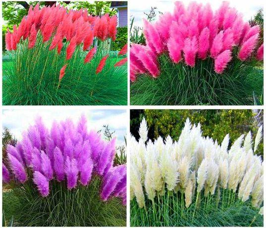 Trawa Pampasowa 100 nasion XXL 4 KOLORY 3m wysoka ZESTAW biała różowa