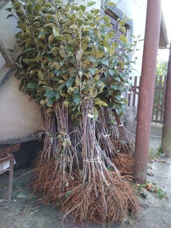 Саженцы плодовых деревьев, новые имунные сорта