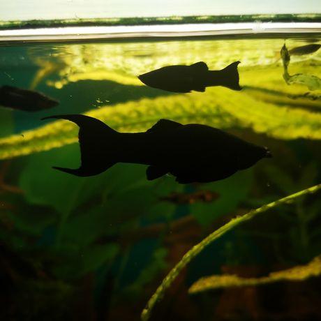Rybka Molinezja czarna