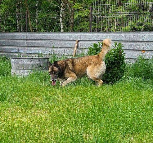 Wielki dostojny pies