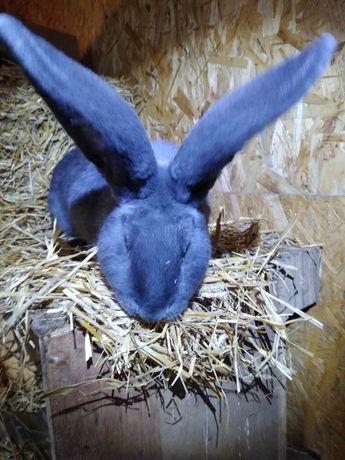 Królik Belg olbrzymi samiec dla samic