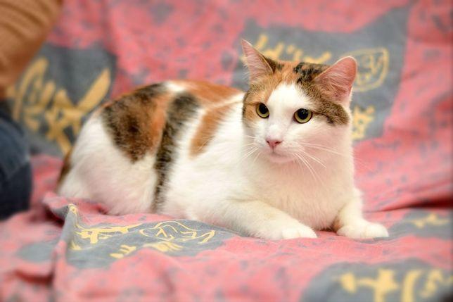 Красава-Яркость и стиль. Стерильная трёхцветная кошка
