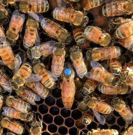 Проверенные на засев Пчелиные матки Бакфаст от племенной матки
