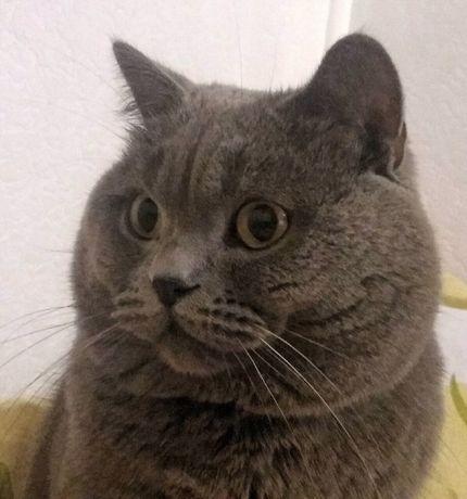 Кіт Британець для в'язки
