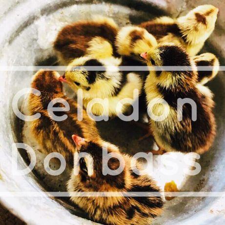 Celadon селадон подрощенные