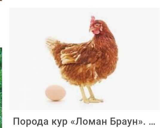 Инкубация. Яйцо куриное ~Хайсек Браун, Легорн, Браун Ник