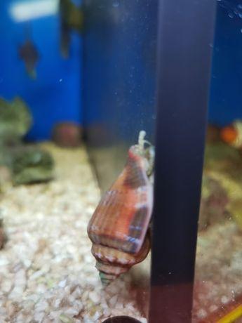Strombus sp. akwarium morskie