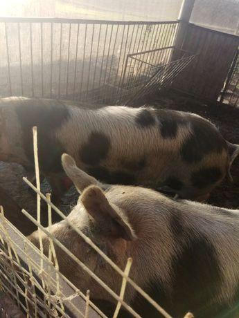 Продам, домашню свиню живою вагою
