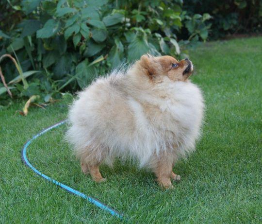 Suczka Pomeranian z Rodowodem ZKwP FCI