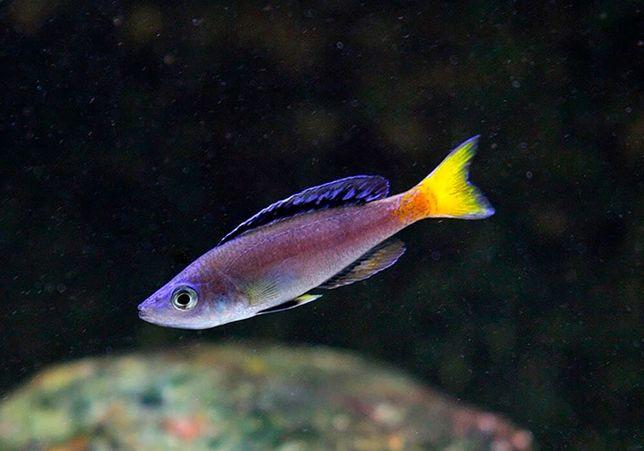 Tanganika Cyprichromis leptosoma mpulungu